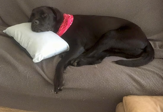 A thick, large breed black dog with a large black nose and dark eyes laying down sleepily on a brown couch with its head on top of a white pillow. The dog has a short coat, a long tail and is wearing a red bandanna.