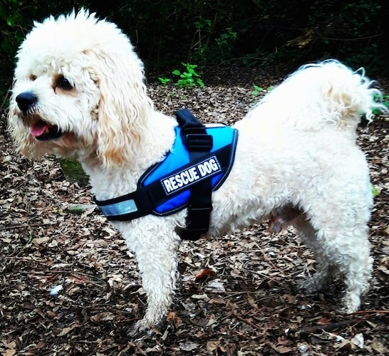 Side view - A small white curly coated dog standing in brown dirt and leaves wearing a blue vest that says 'rescue dog'. THe dog has long soft looking ears, a black nose, dark eyes and its pink tongue is showing. Its tail has long wavy hair on it and is curled up over the dog's back.