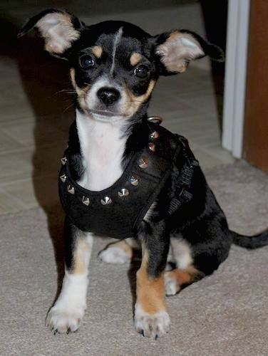 Front view of a small, toy-sized tri color black white and tan dog sitting down wearing a spiked leather harness. The dogs ears are sticking out to the sides, its nose is black and its eyes are wide and round.