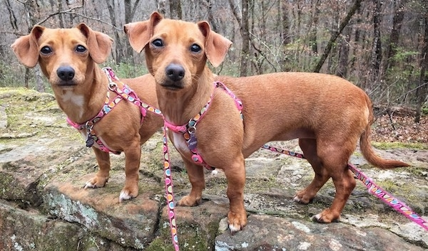Side view of two long bodied, short legged, low to the ground reddish tan dogs with long tails, black noses and dark almond-shaped eyes wearing pink harnesses standing on a boulder-sized rock outside in the woods.