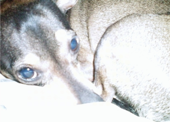 Close Up - a shorthaired small breed dog with buldging eyes laying curled up in a ball looking sleepy. The dog has a brown body with black on its head. Its nose is black. It has a long snout and large round eyes.