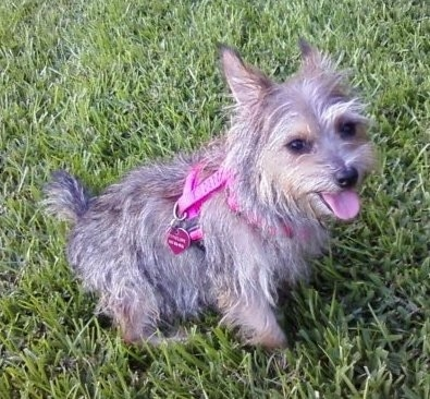 A small wiry looking gray and tan dog with perk ears wearing a hot pink harness sitting in grass looking up a the camera. The dog has dark eyes, a dark nose and a small tail and looks like its smiling.
