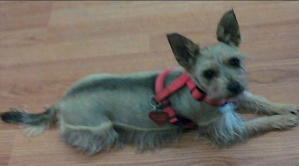 A small breed dog with its coat shaved short on its back and the top of its head and longer hair on its legs and belly and face. It has large perk ears and is laying down on a hardwood floor wearing a hot pink harness. It has dark eyes and a black nose.