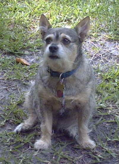 Front view of a wiry looking overweight dog with perk ears and gray, tan and white fur sitting in dirt and grass looking to the left. The dog has a black nose, black lips and black eyes.