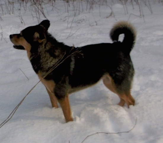 Side view of a thick-coated, large breed black and tan dog with a curl ring tail standing outside in snow facing the left