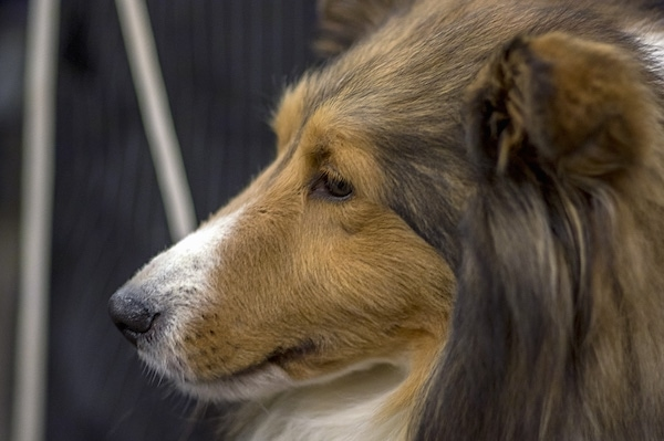 Side view head shot - a furry, long coated dog with a lon snout that has shorter hair on it, a black nose and dark eyes and small ears. The dog has longer hair coming off of its neck, chest and ears.