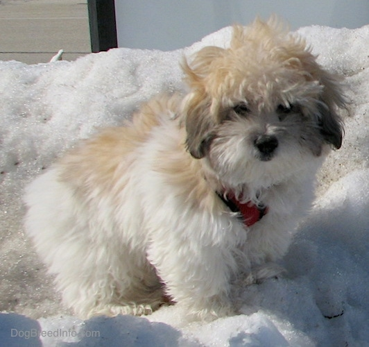 Front side view - A fluffy soft thick coated, tan, white and black dog with a black nose and dark eyes standing outside on a snow mound.