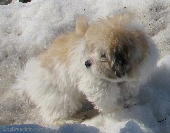 Front side view - A fluffy soft thick coated, tan, white and black dog with a black nose and dark eyes standing outside on a snow mound looking to the left.
