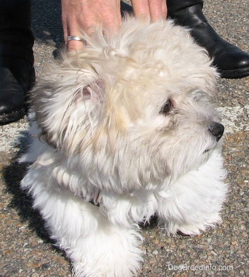 Front view - A fluffy soft thick coated, tan, white and black dog with a black nose and dark eyes standing in a parking lot looking to the right with a person in black shoes behind him with their hands on his back.