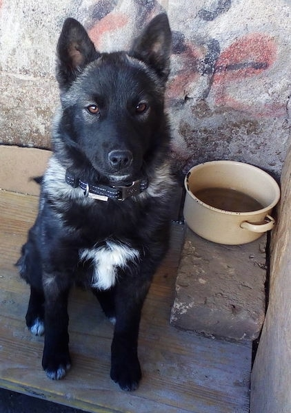 A perk eared medium-haired black, gray with white shepherd looking dog sitting on a wooden board next to a tan medal water pan in front of a stone wall.