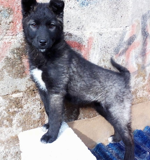 Side view - A perk eared medium-haired black, gray with white shepherd looking dog standin up on top of a block in front of a stone wall.
