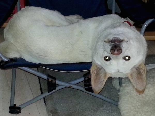A white dingo with tan ears and a brown nose and dark eyes laying on a fold up blue chair hanging its head up side down. It has perk ears.