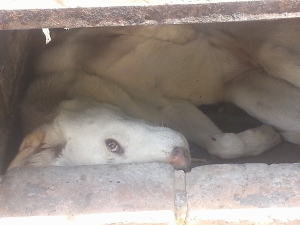 A white dingo with a light brown nose and dark eyes laying under a concrete porch looking at the camrea.