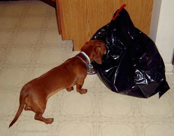 A low to the ground, short legged, long-bodied, Dachshund dog with its nose in a black trash bag in a kitchen.