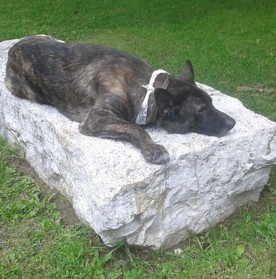 Side view of a large breed brown brindle shepherd dog with a black nose and large perk ears laying down on a huge boulder rock looking sleepy. The dog has on a white and gray bandanna around its neck.