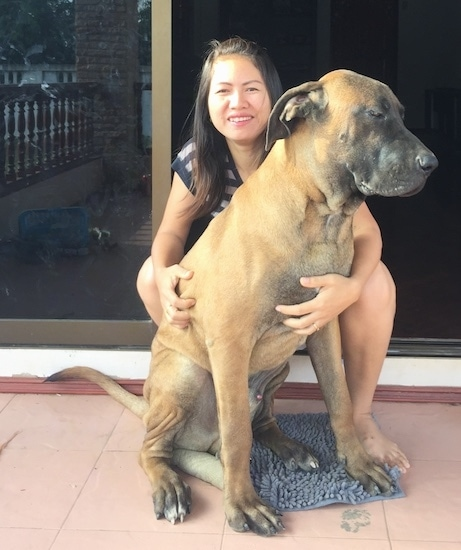 A tan extra large dog with a black muzzle a large head and ears that hang down and are pinned back to the sides with huge paws and a long tail sitting on a porch in front of a sliding glass door in front of a smiling lady.