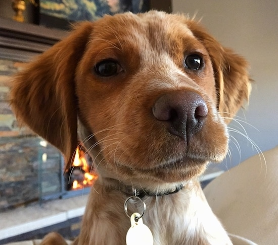 Close up head shot - the front view of the face of a reddish-brown dog with brown eyes, a brown nose and brown lips with soft looking ears that hang down to the sides jumped up in front of the person taking the picture.
