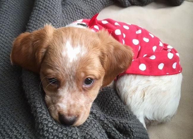 Close up of a little brown and white ticked dog laying curled up in a ball with a red polka-a-dot shirt over its back. The dog has brown almond shaped eyes and a black nose.
