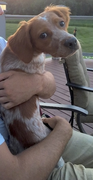 A person holding a medium sized brown with white ticked dog out on a deck in a back yard. The dog has a long muzzle with a dark brown nose, brown eyes and soft ears that hang down to the sides.