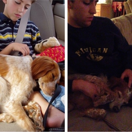 A tan and white ticked French Brittany Spaniel is sleeping on the lap of a boy while sitting in the backseat of a vehicle next to a second picture of the same dog on the lap of the same boy 12 years later.
