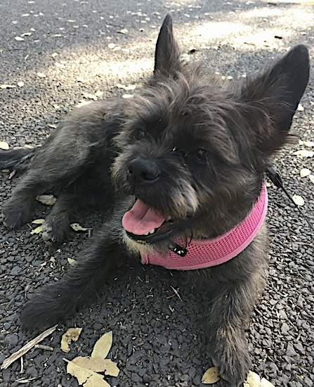 A small wiry looking dog with large perk ears, dark eyes, a black nose and a pink tongue laying down on a driveway. The dog is wearing a pink harness and is looking to the left.