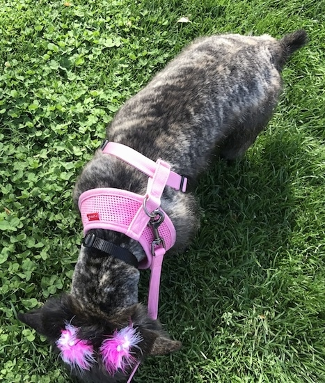 View from the top looking down at a small brown brindle dog with its coat shaved short and pink feathers pinned to its ears wearing a pink harness looking down smelling the grass.