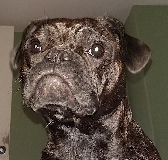 Close up head shot - A medium-sized brown brindle dog with a pushed back nose and what looks like a frown on her face from the drooping lips inside of a room that has green walls and a white door.