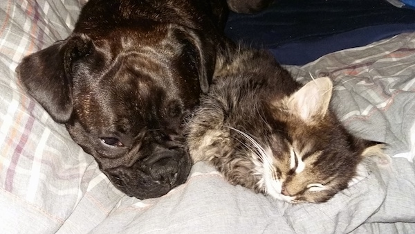 Close up head shot - A medium-sized brown brindle dog with a pushed back nose laying down on a gray blanket next to a sleeping fluffy gray tiger cat with a white face.