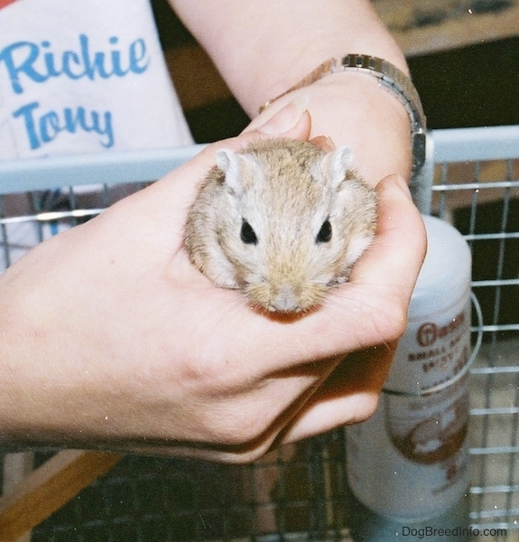 A little brown rodent with black eyes and smal white ears being held in the hands of a person over top of a wire cage that has a water bottle hanging on the side of it. It has a small tan nose and white whiskers.
