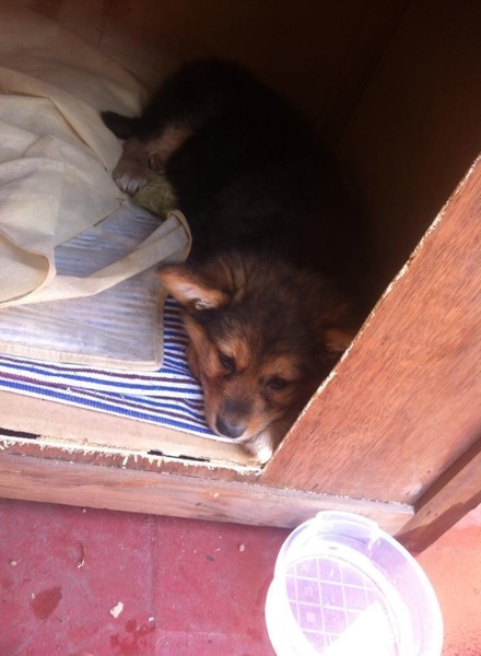 A small, fluffy spitz looking perk eared puppy with a black nose and tan and black fur laying down inside of a dog house that is on top of a red concrete floor. There is a clear plastic bowl of water on the floor in front of it.