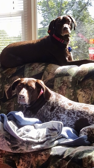 Two short coated large breed dogs laying down on a couch. One dog is brown with white ticking patterns and is up on the very back against a window and the other is mostly brown laying down across the seating area. Both dogs have ears that hang down to the sides, brown noses and brown eyes.