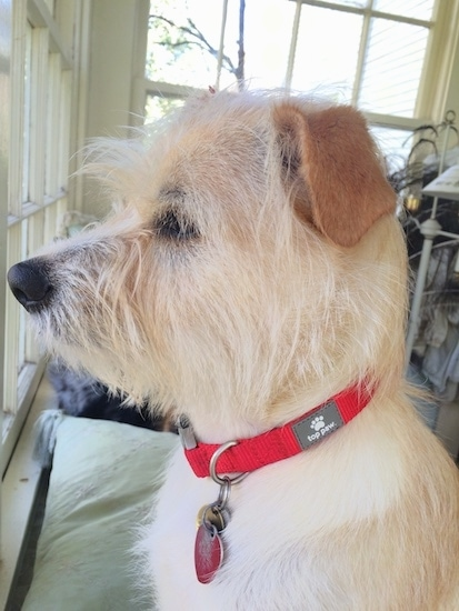 Side view of a golden tan wiry looking dog with a long snout and a black nose and dark eyes with darker tan ears that are folded over at the sides wearing a red collar looking out of a window inside of a home.