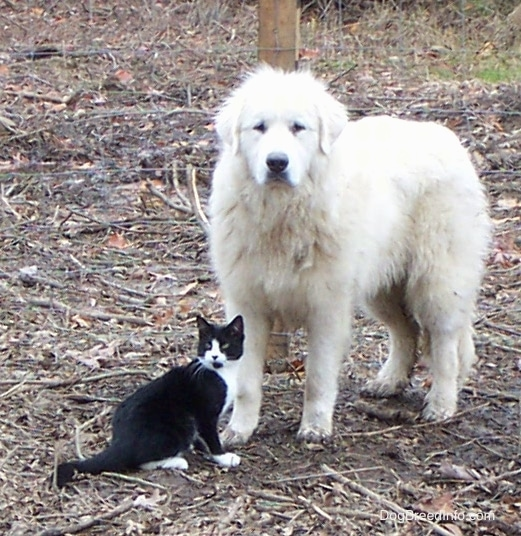 An extra large breed white thick coated dog with dark eyes, a black nose and ears that hang down to the sides standing outside with a black and white cat next to him.