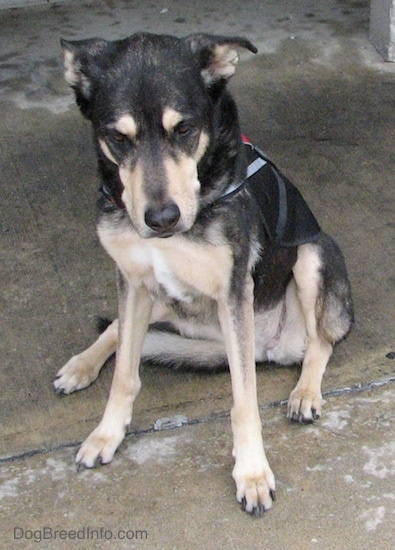 Front view of a black with tan dog sitting down outside on wet concrete looking slightly down. It has a little bit of white on its chest, a black nose and brown eyes. Its ears are set wide apart and are down and pinned back to the sides.