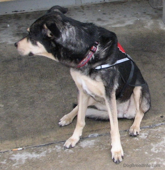 Front view of a black with tan dog sitting down outside on wet concrete looking to the left. It has tan on its long muzzle and a black nose. Its toenails are black.