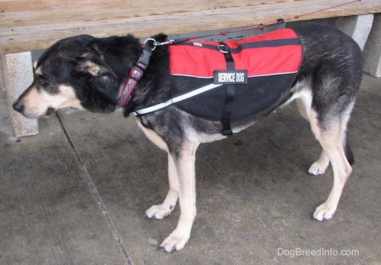 Side view of a black with tan dog standing on wet concrete in front of a bench wearing a red and black service dog vest. The dog has a black nose and a long tail. Its ears are pinned back.