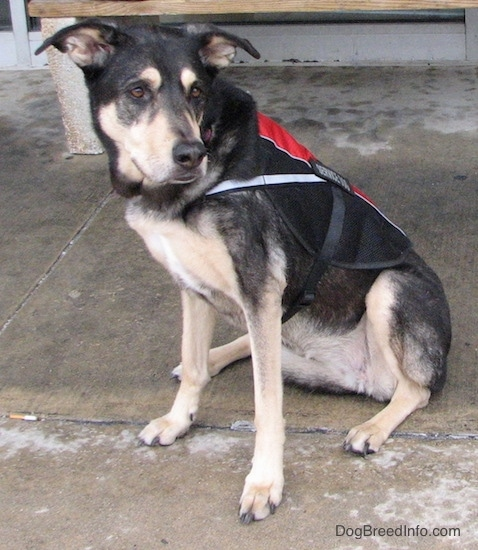 Front side view of a black with tan dog sitting on wet concrete in front of a bench wearing a red and black service dog vest. It has a black nose and brown eyes with long ears that stick out to the sides.