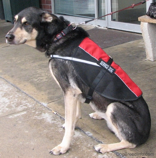 Back side view of a black and tan dog sitting down on wet concrete in front of a store wearing a red and black service dog vest. The dog is looking back at the camera with its brown eyes.
