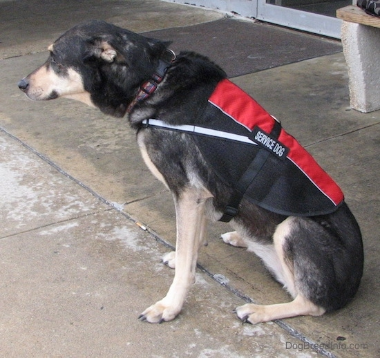 Side view of a black and tan dog sitting down on wet concrete in front of a store wearing a red and black service dog vest. The dog has a long muzzle and a black nose.
