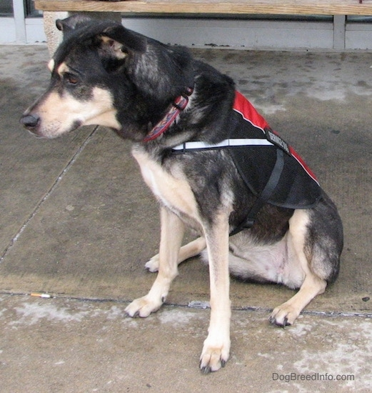 Front side view of a black and tan dog sitting down on wet concrete in front of a store wearing a red and black service dog vest. The dog has a black nose and ears that fold over and stick out to the sides.