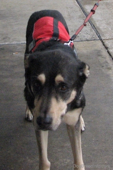Front view of a black with tan dog walking on wet concrete wearing a red and black service dog vest connected to a red leash. Its ears are pinned back.