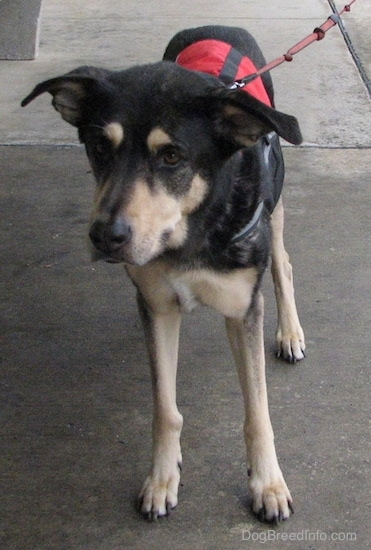 Front view of a black with tan dog walking on wet concrete wearing a red and black service dog vest connected to a red leash. Its large ears are folded over and sticking out to the sides.