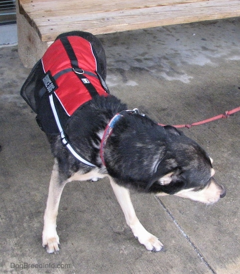 A large black with tan dog wearing a red and black service dog best turning its body to the right. It is connected to a red leash outside on wet concrete.