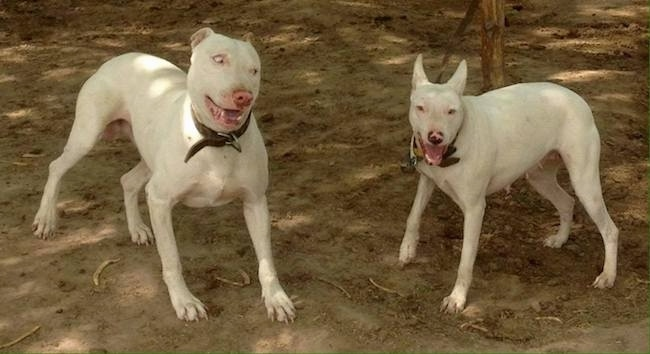 Front view of two large perk eared white dogs standing out in dirt. The larger dog on the left is looking playfully over at the smaller dog on the right.