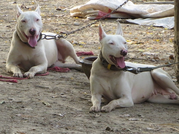 Two large breed happy looking dogs with larger perk ears and slanted eyes with pink eye rims and pink and black noses laying down in dirt tied up with chains and leashes.