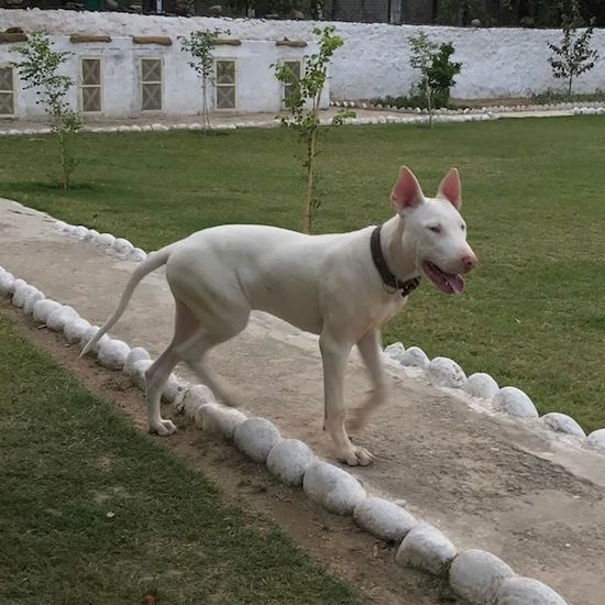 A large breed dog with big white perk ears and a long tail that is hanging down towards the ground with slanty eyes and a pink nose standing on a dirt sidewalk path with a white building behind it.