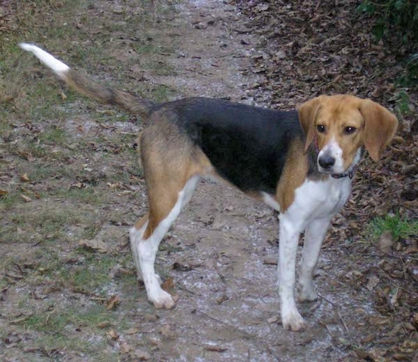 A tricolor tall hound looking dog with a long tail, long drop ears that hang down to the sides and white legs standing on a trail in the woods.