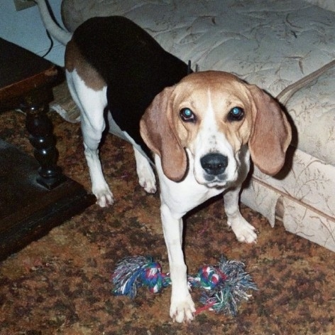 A tall tan, black and white hound dog with long soft ears that hang down and a black nose and long tail standing in a living room next to a couch with a rope toy at its feet.