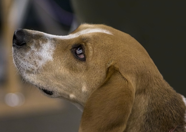 Close up side view head shot - a brown and white with black hound dog with long soft drop ears that hang down to the sides, dark eyes and a black nose facing the left.