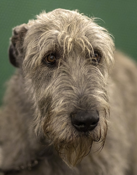 A black and a tan Irish Wolfhound are standing in dirt and looking out of a metal gate